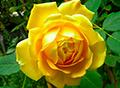 Английская коллекция (розы Дэвида Остина, зимостойкие сорта)