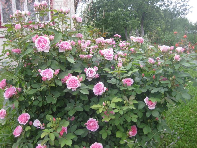 Prairie joy роза отзывы