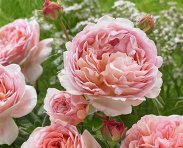 Розы дэвида остина самые зимостойкие сорта купить доставка цветов бабочек киев