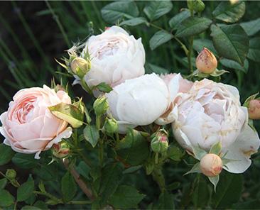 Ambrige Rose (Austin) в горшке 4 л (поставка май 2018)