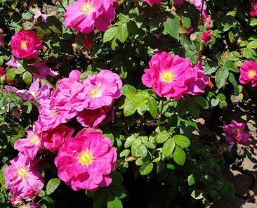 Rosa Officinalis (Apotecary Rose) в горшке 4 л