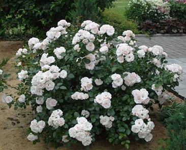 Aspirin Rose (Tantau) в горшке 7 литров