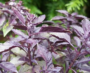 Базилик овощной Фиолетовый в горшке R10
