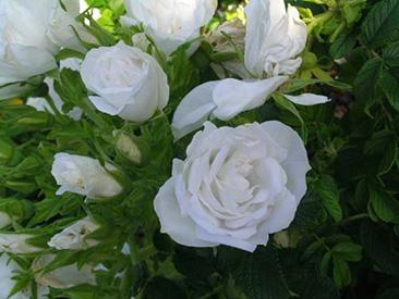 Blanc Double de Coubert в горшке 4 л