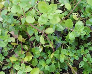 Чабер огородный Ароматный в горшке R10