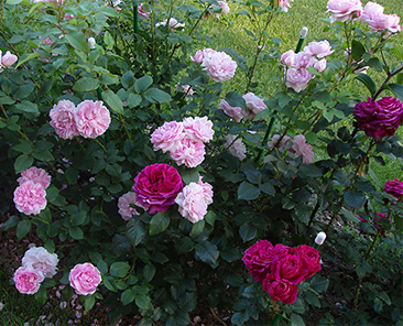 Cottage Rose (Austin) ОКС