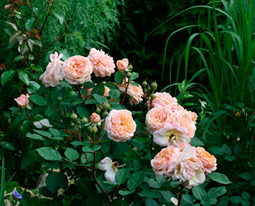 Crown Princess Margareta ОКС