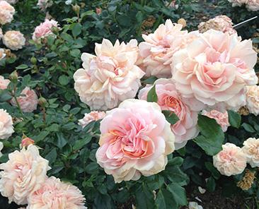 Garden Rose в горшке 4 л (поставка май 2018)