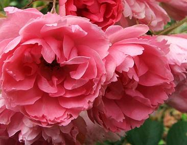 Pink Grootendorst в горшке 7 литров