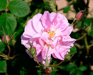 Kazanlik Rose ОКС