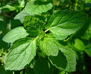 Мелисса лекарственная Лимонный аромат в горшке R10