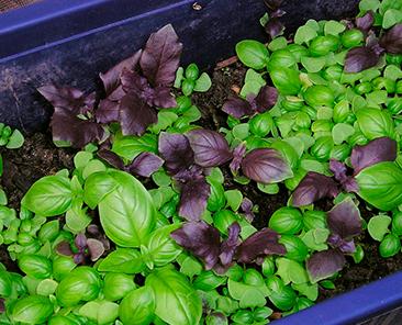 Базилик зеленый 5 гр. (АЭЛИТА) (семена)