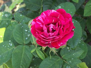 Versicolor / Rosa Mundi в горшке 7 литров