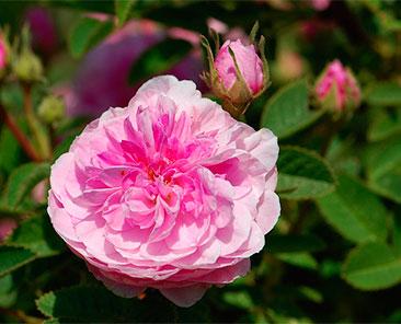 Rose de Meaux в горшке 4 л
