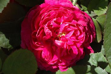 Rose de Resht в горшке 7 литров