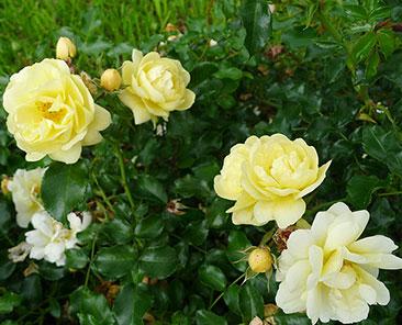 Sunny Rose в горшке 7 литров
