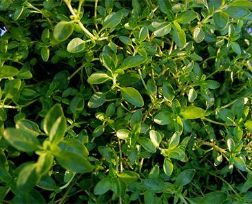 Тимьян овощной Медок в горшке R10