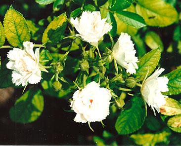 White Grootendorst в горшке 4 л