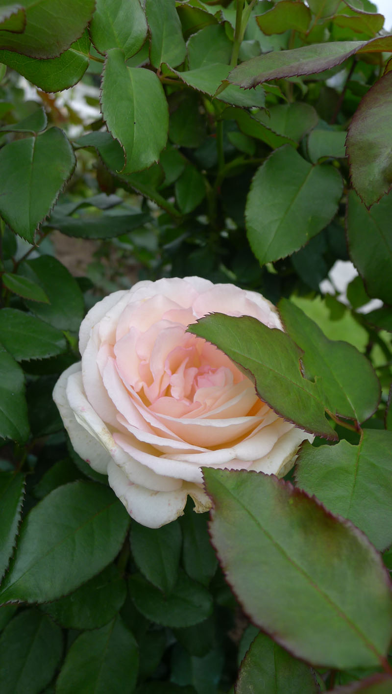 rose souvenir de baden baden