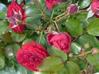 Европейские зимостойкие розы