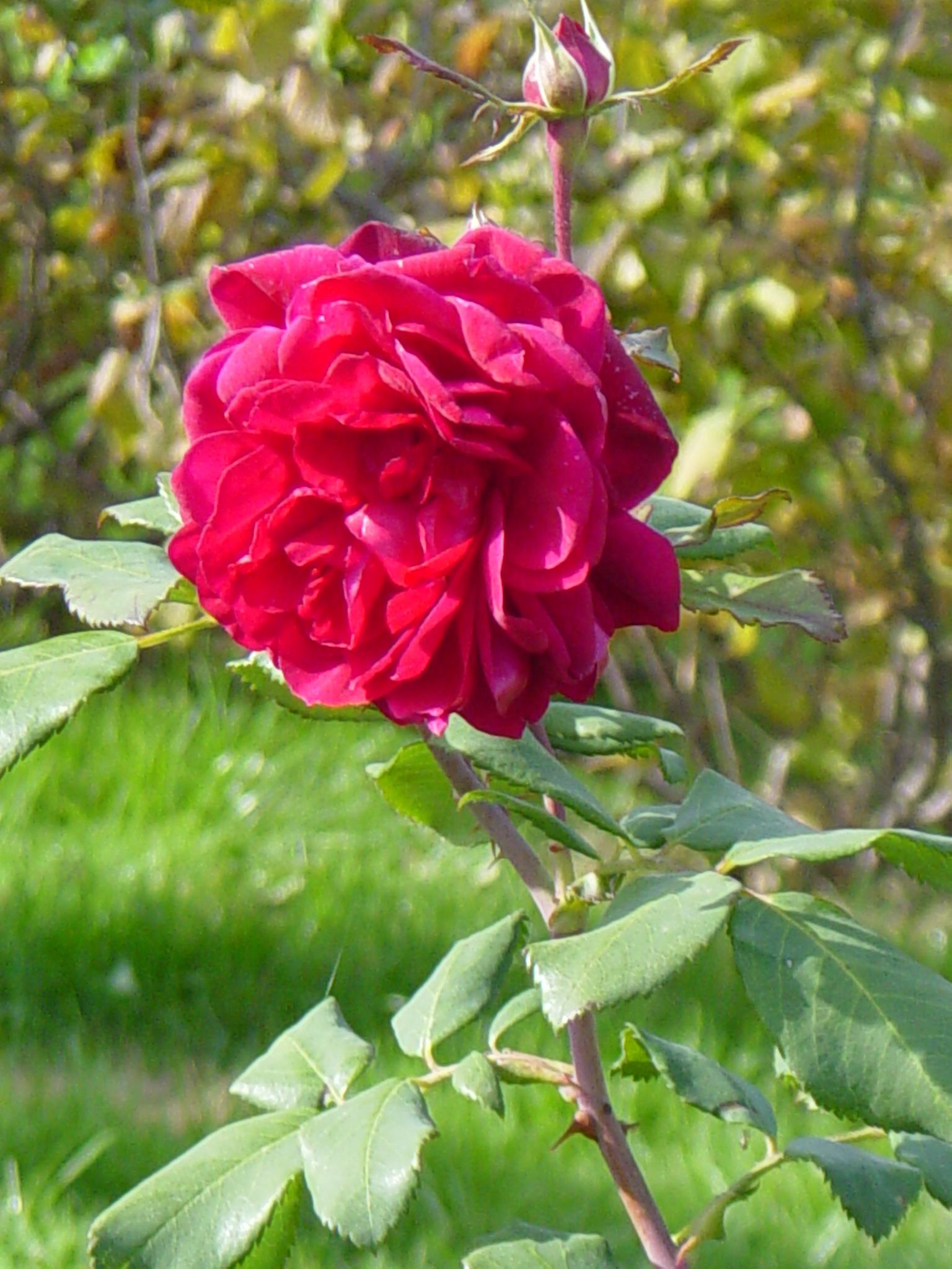 Морозостойкие розы канадской