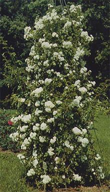 Все о розах виды роз уход за