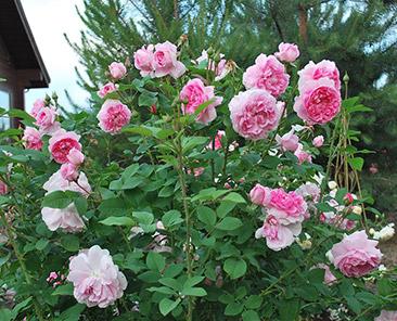 Cottage Rose (Austin) в горшке 4 л (поставка май 2018)