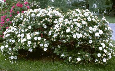 сорта канадских роз описание фото