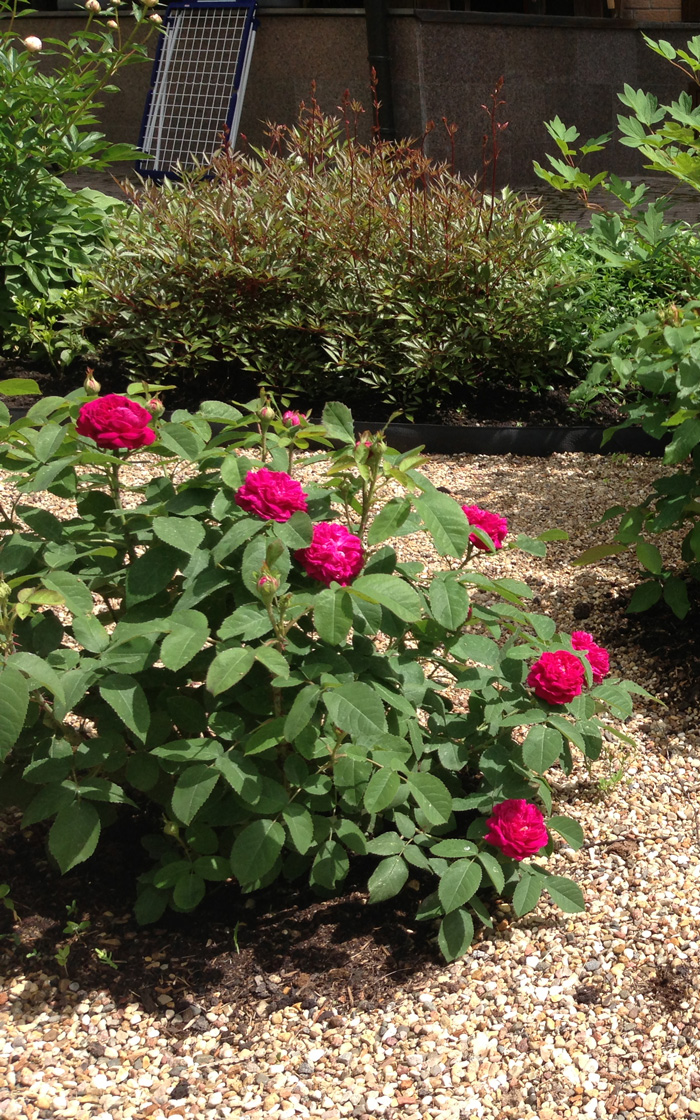 сорта роз для сибири с фото и названиями